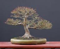 Bonsai dell'acero giapponese in inverno Immagini Stock Libere da Diritti