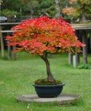 Bonsai dell'acero nei colori di caduta Fotografia Stock
