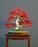 Bonsai dell'acero in primavera Fotografia Stock