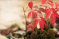Bonsai dell'albero di acero Fotografia Stock Libera da Diritti