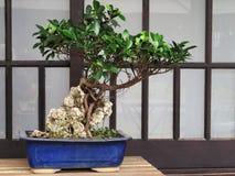Bonsai dell'albero di banyan Fotografia Stock