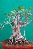 Bonsai dell'albero di banyan Fotografia Stock Libera da Diritti