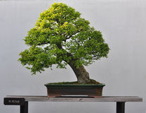 Bonsai dell'olmo cinese Fotografie Stock Libere da Diritti