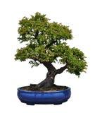 Bonsai dell'olmo cinese Fotografie Stock