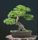 Bonsai dell'olmo di Hillieri in primavera Immagine Stock Libera da Diritti