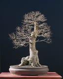 Bonsai dell'olmo in inverno Fotografia Stock Libera da Diritti