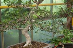 bonsai dell'olmo in una serra Fotografia Stock Libera da Diritti