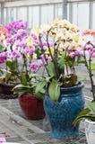 Bonsai dell'orchidea di farfalla immagine stock