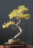 Bonsai della betulla nel colore di caduta Immagine Stock Libera da Diritti