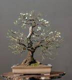 Bonsai della ciliegia selvatica in primavera Immagini Stock