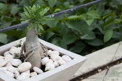 Bonsai Desert Rose in cement pot Stock Photos