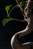 Bonsai Detail on Black Stock Image