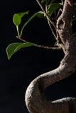 Bonsai Detail on Black Stock Image