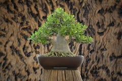 Bonsai di Arabicum Immagine Stock Libera da Diritti