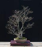 Bonsai di Eonymus in primavera Immagini Stock