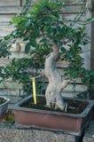 bonsai di ficus in una serra Fotografia Stock