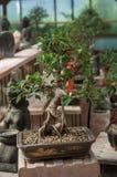 bonsai di ficus in una serra Immagini Stock Libere da Diritti