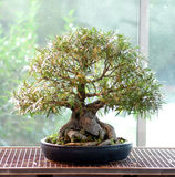 Bonsai di nerifolia del Ficus Fotografie Stock