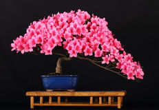Bonsai di Satzuki Azelea Fotografie Stock