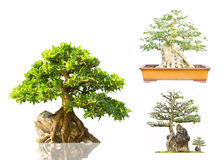 Bonsai on Display white background Stock Photography