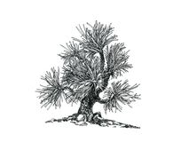 Bonsai pine-tree .Little present. Bonsai, drawn with a pen, black and white graphics.A young tree Stock Photos
