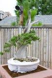 Bonsai Drzewni Denwerscy ogródy botaniczni Obrazy Stock