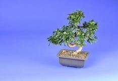 bonsai drzewo Obrazy Royalty Free
