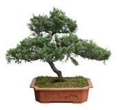 bonsai drzewo Obrazy Stock