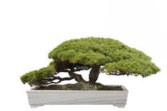 bonsai drzewo Fotografia Royalty Free