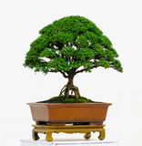 Bonsai drzewo Fotografia Royalty Free