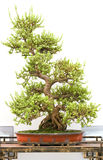 bonsai drzewo Zdjęcie Royalty Free
