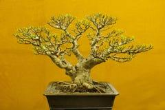 Bonsai drzewo, Ficus Microcarpa, Bonsai drzewna wystawa przy Pune fotografia stock