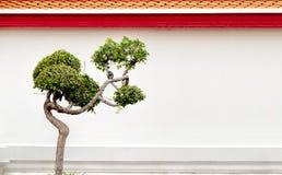 Bonsai drzewo i mały ptak na tle ściana Buddyjska świątynia, Bangkok, Tajlandia Obraz Royalty Free