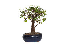 Bonsai Zdjęcie Royalty Free