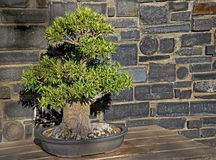 Bonsai drzewo oliwne Zdjęcia Royalty Free