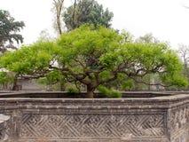 Bonsai drzewo w kamiennym ornamentacyjnym labiryncie Zdjęcia Royalty Free