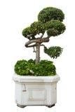Bonsai drzewo w odosobnionym na bielu obrazy royalty free