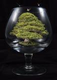 Bonsai drzewo w szkle Obrazy Stock