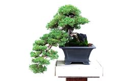 Bonsai - dwarf japanese garden juniper Royalty Free Stock Image