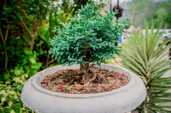 Bonsai or Dwarf pine trees Royalty Free Stock Photography