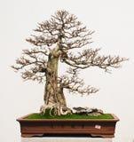 Bonsai in een pot Royalty-vrije Stock Afbeeldingen