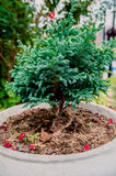 Bonsai eller dvärgen sörjer träd Royaltyfri Bild