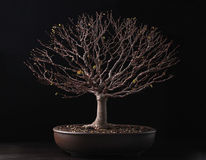 Bonsai elm. From exhibition in winter season Royalty Free Stock Image