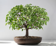 Bonsai elm tree. From exhibition Stock Photography