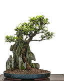 Bonsai elm tree (Zelkove nire) is growing over a rock Royalty Free Stock Photo