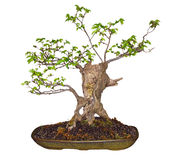 Bonsai Elm (Ulmaceae) Stock Image