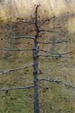 Bonsai espalier Royalty Free Stock Photography
