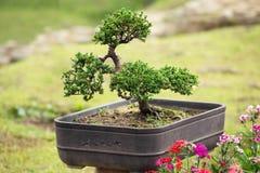 Bonsai - ett dekorativ träd eller buske som är fullvuxna i en kruka arkivbilder