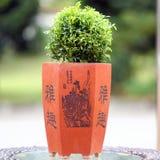 Bonsai (Euodia Ridleyi) Zdjęcia Stock