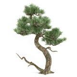 Bonsai exotic pine tree Stock Image